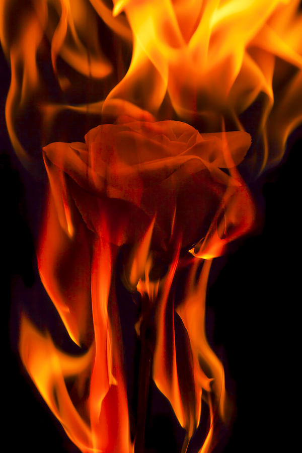 Flaming Rose Photograph  - Flaming Rose Fine Art Print