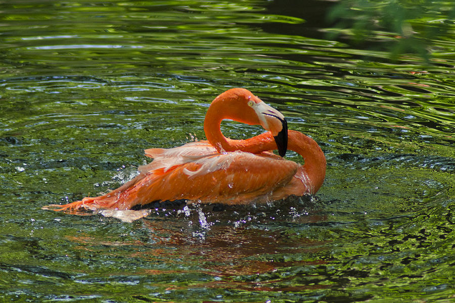 Flamingo Bath Photograph  - Flamingo Bath Fine Art Print