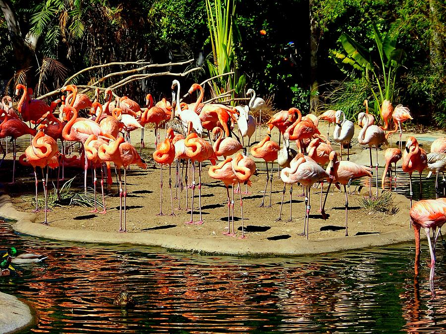 Flamingos Photograph - Flamingo Family Reunion by Karen Wiles