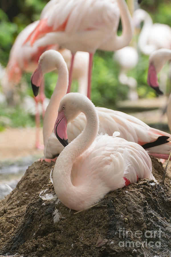 Flamingo Rest On Ground Photograph