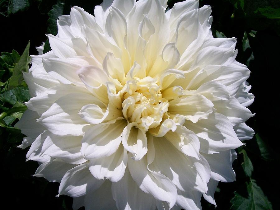 Giant Flower  Photograph - Fleurel Dahlia by Sharon Duguay