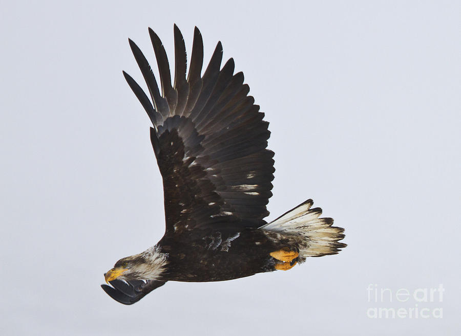 Flight Photograph  - Flight Fine Art Print
