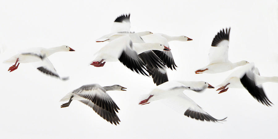 Flight Of The Snow Geese Photograph