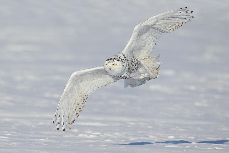 Flight Of The Snowy Photograph
