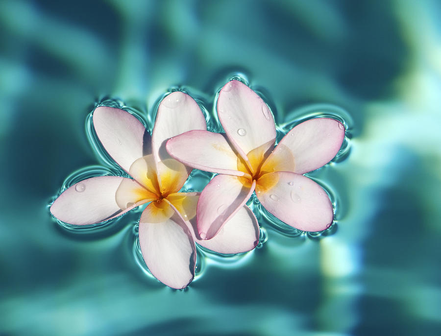 Floating plumeria flowers photograph by m swiet productions for Floating flowers in water