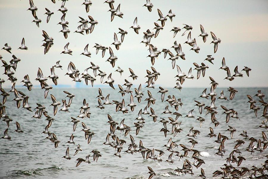 Birds Photograph - Flock Of Dunlin by Karol Livote