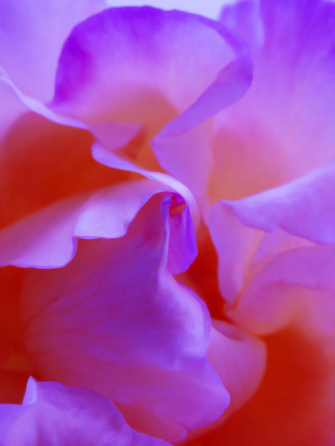Floral Abstract Red Pink Purple - Flowers Close Up Fine Art Photograph Photograph