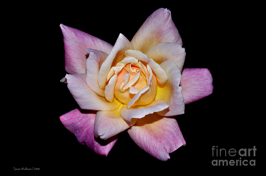 Floribunda Rose In Full Bloom Photograph  - Floribunda Rose In Full Bloom Fine Art Print