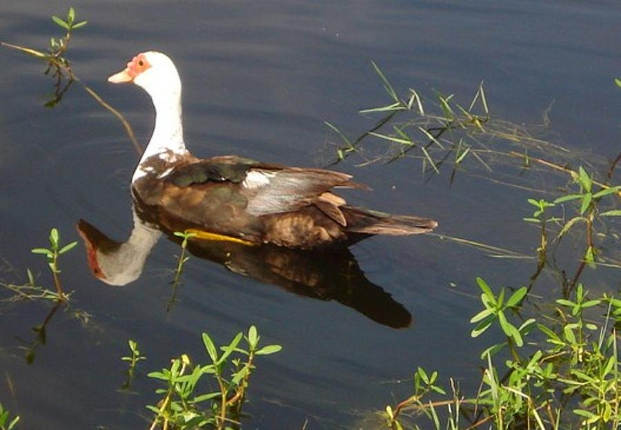Florida Ducks Photograph  - Florida Ducks Fine Art Print