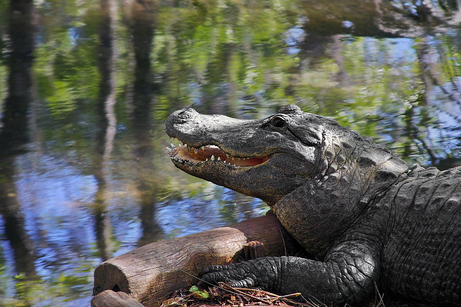 Florida - Where The Alligator Smiles Photograph