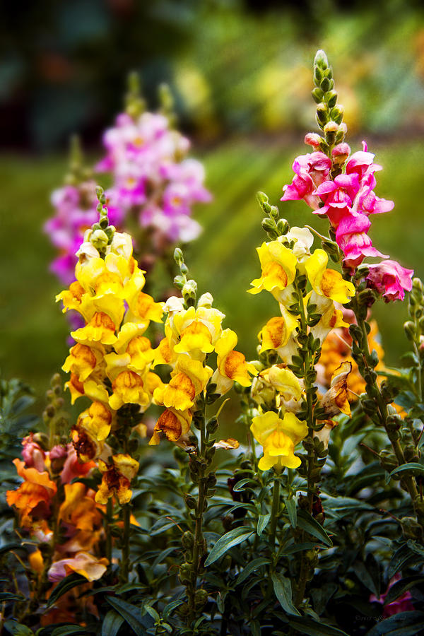 Flower - Antirrhinum - Grace Photograph  - Flower - Antirrhinum - Grace Fine Art Print