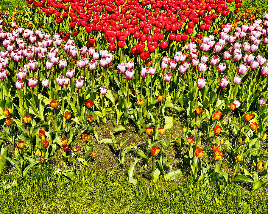 Flower Bed Photograph  - Flower Bed Fine Art Print
