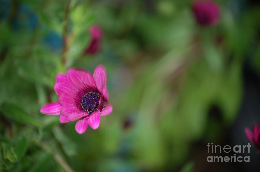 Flower Bokeh  Photograph  - Flower Bokeh  Fine Art Print
