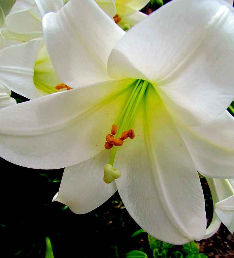 Flower Christmas Lily. Photograph