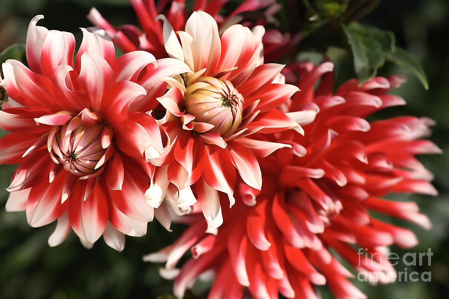 Flower-dahlia-red-white-trio Photograph
