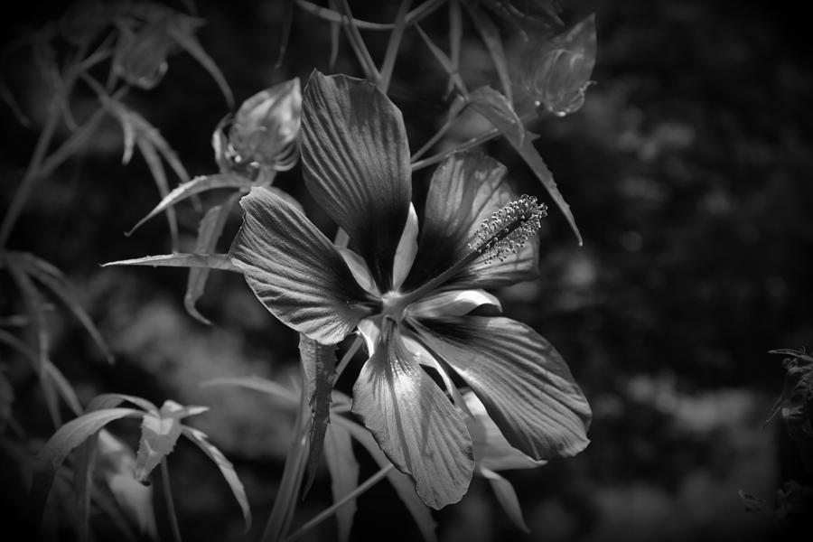 Flower In B-w Photograph  - Flower In B-w Fine Art Print