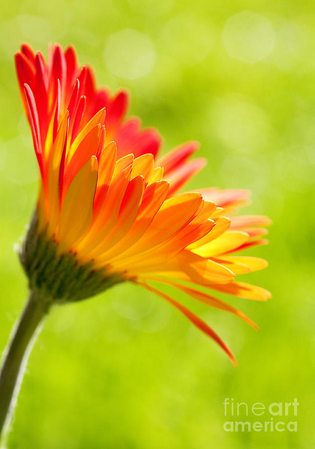 Flower In The Sunshine - Orange Green Photograph