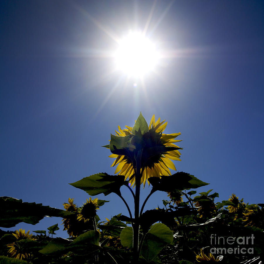 Flower Of Sunflowers Photograph