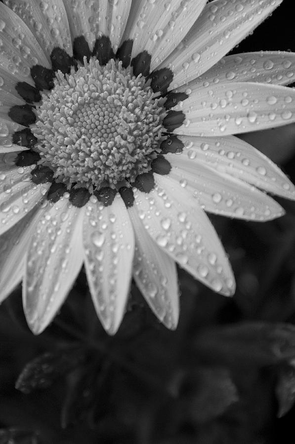 Flower Water Droplets Photograph