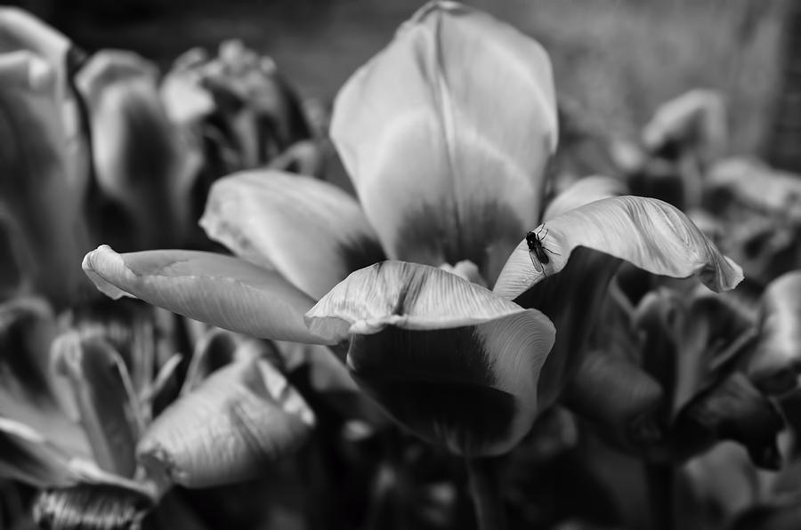 Flower Wiith Fly Black And White Photograph  - Flower Wiith Fly Black And White Fine Art Print