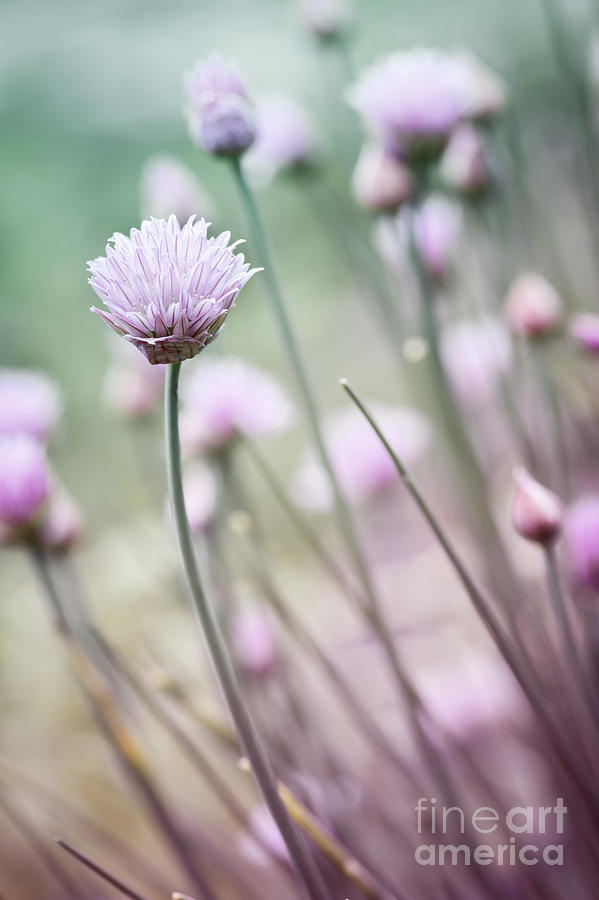 Flower Photograph - Flowering Chives I by Elena Elisseeva