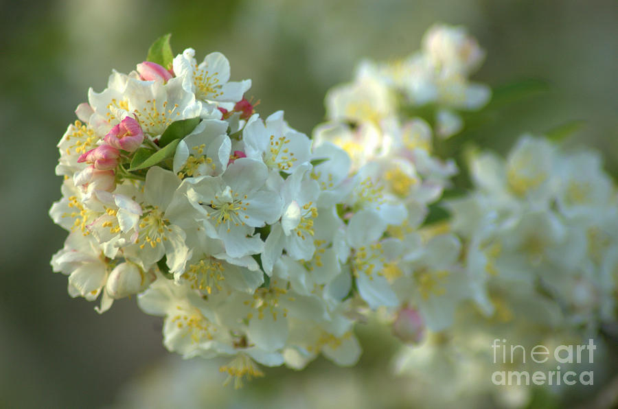 Flowering Crabapple Photograph  - Flowering Crabapple Fine Art Print