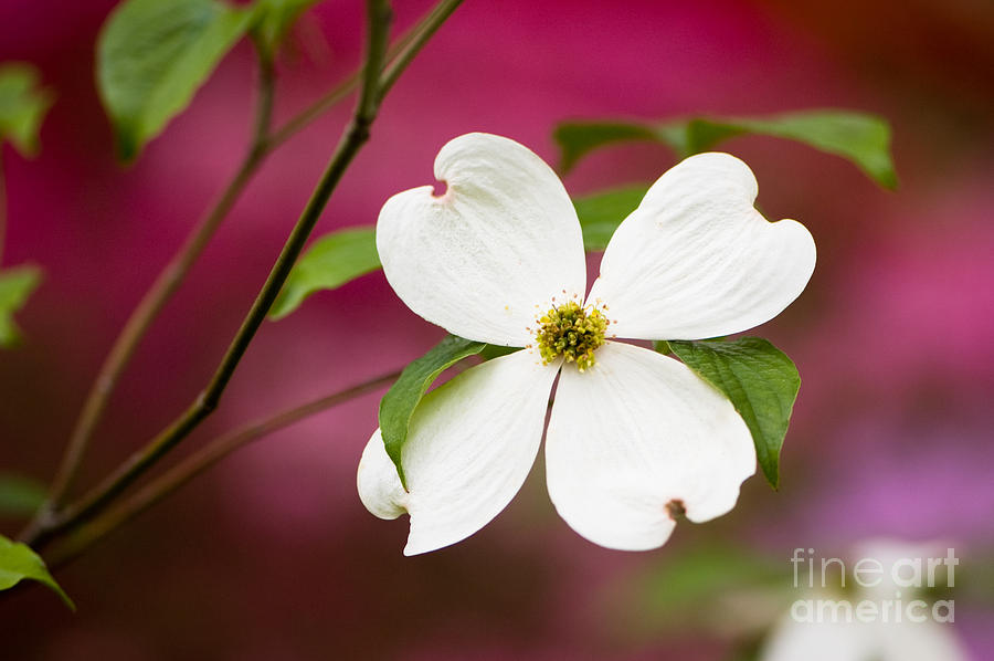 Flowering Dogwood Blossoms Photograph  - Flowering Dogwood Blossoms Fine Art Print