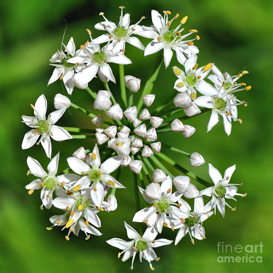 Flowering Garlic Chives Photograph