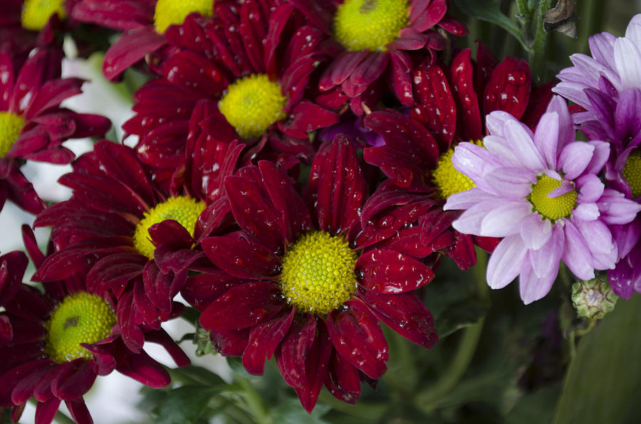 Burgundy. Rose Photograph - Flowers by Ahmed Tarek Shaffik
