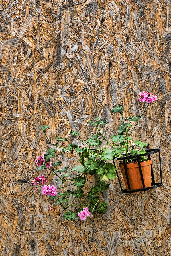 Flowers On Wall - Taromina Photograph  - Flowers On Wall - Taromina Fine Art Print