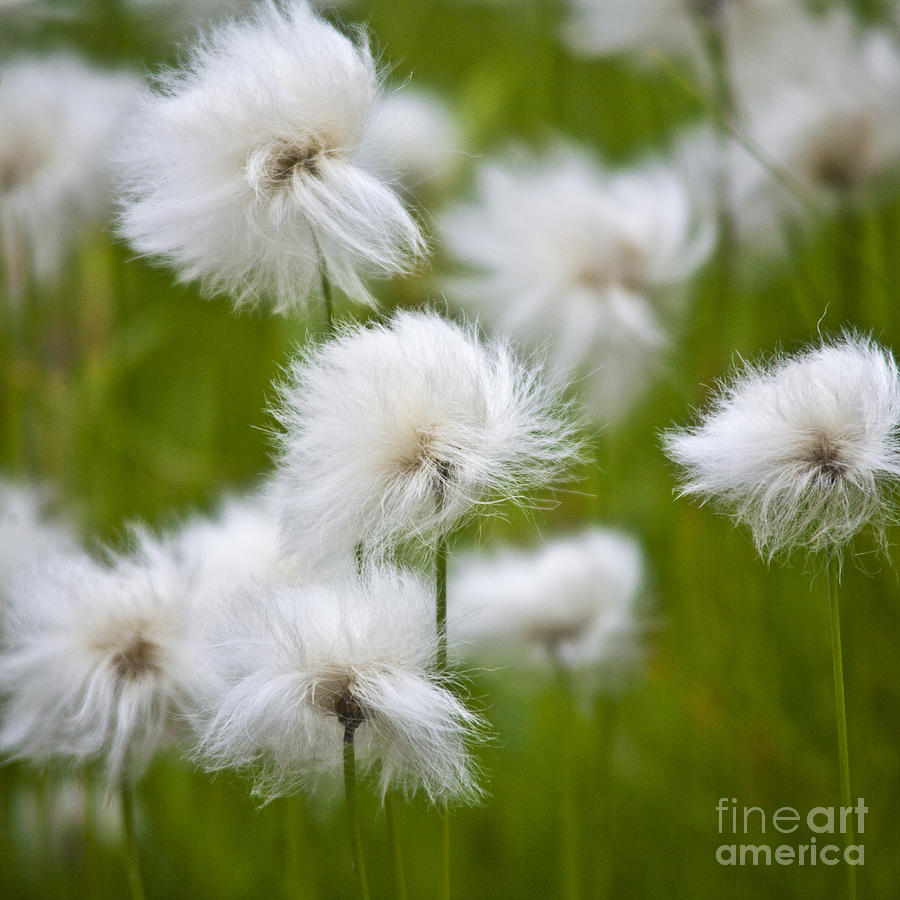 Flowery Cotton Photograph  - Flowery Cotton Fine Art Print