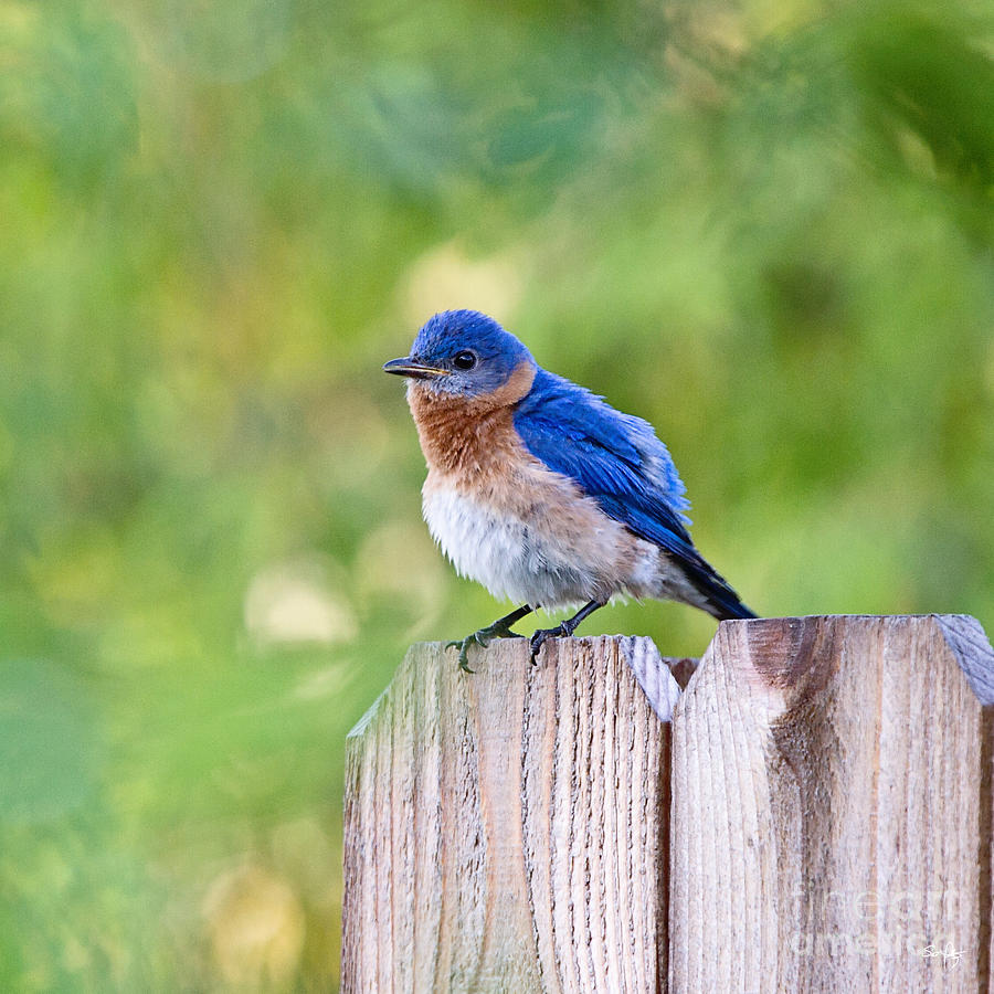 Blue Bird Photograph - Fluffed Up by Scott Pellegrin