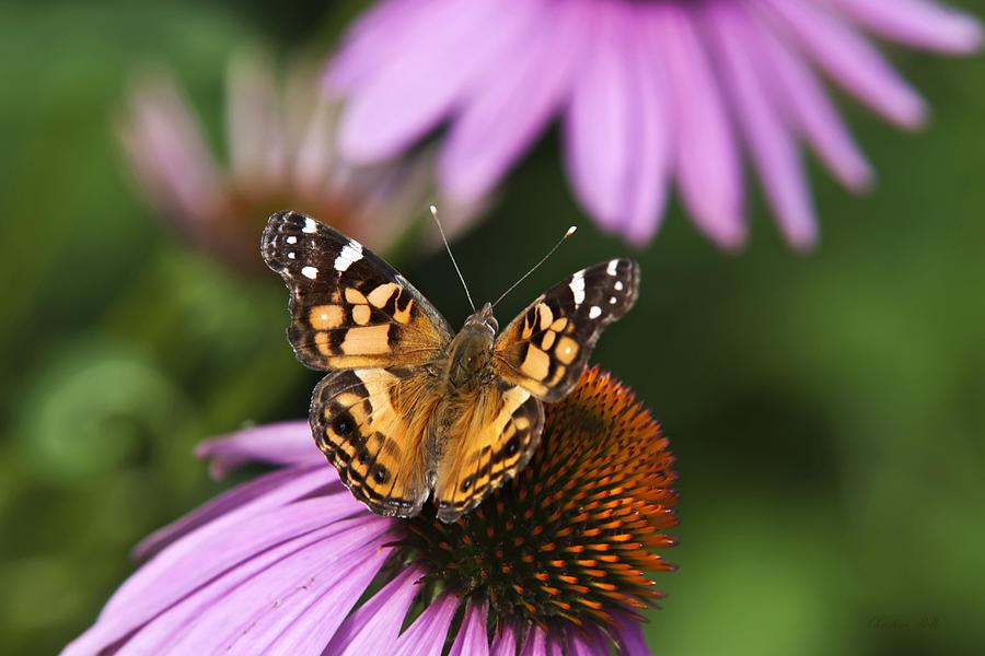 Fluttering Breeze Butterfly Photograph