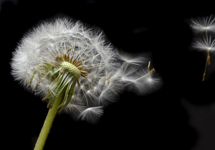 Dandelion Photograph - Flying Away by Terence Davis
