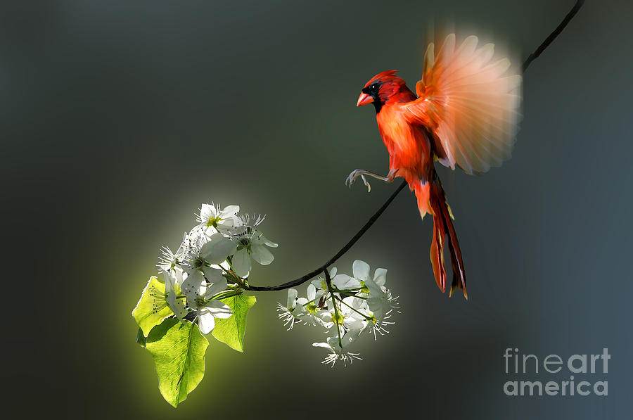 Flying Cardinal Landing On Branch Photograph