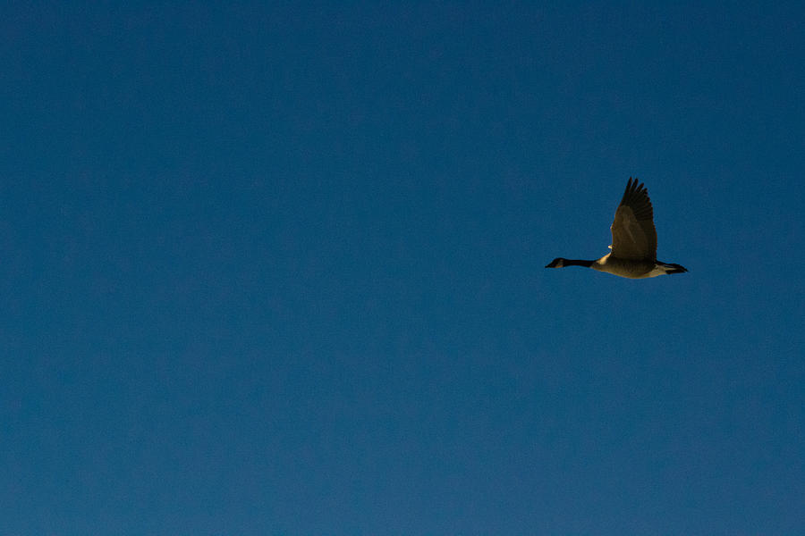 Flying Goose Photograph