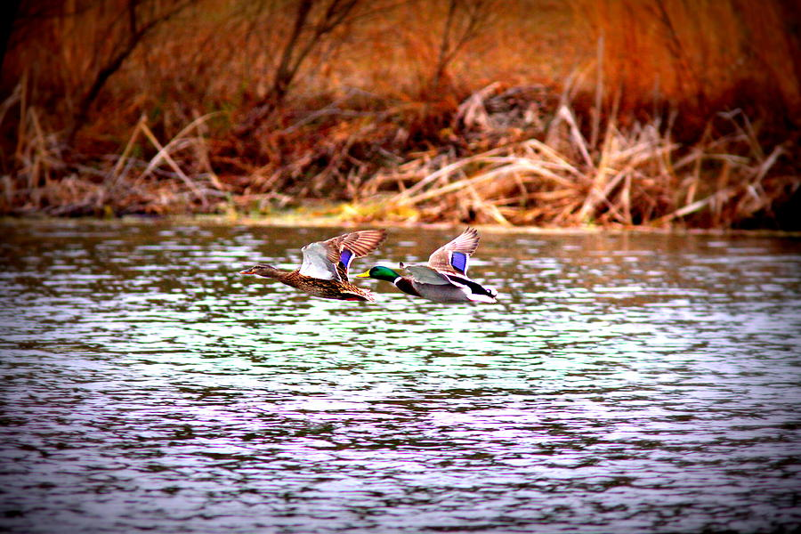 Flying Low - Mallard Photograph  - Flying Low - Mallard Fine Art Print