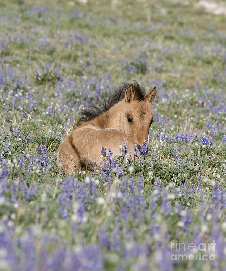 Foal In The Lupine Photograph  - Foal In The Lupine Fine Art Print