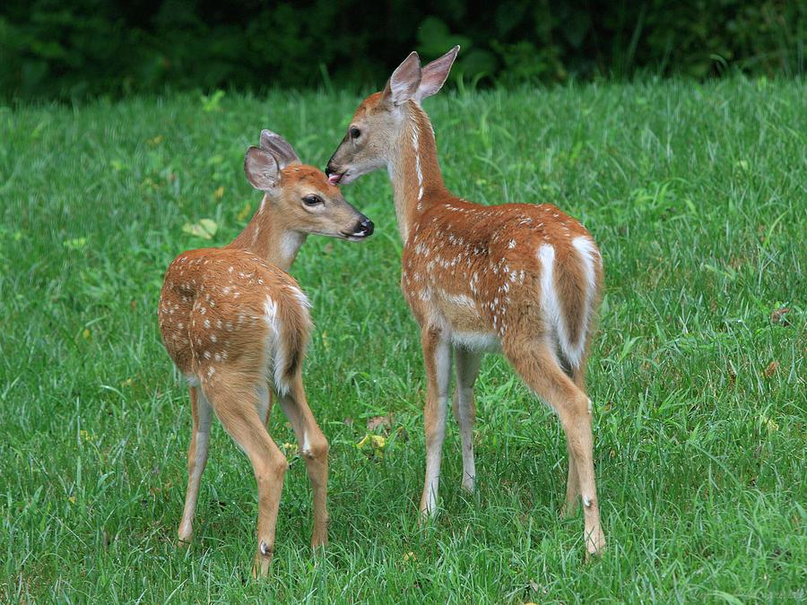 Deer Photograph - Fond Fawns by Charles Warren