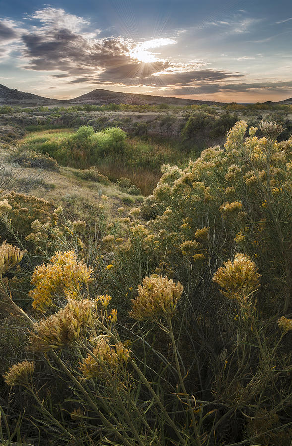 Foothills Sage Photograph
