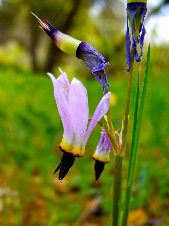 Foothills Shooting Star In Park Sierra-ca Photograph  - Foothills Shooting Star In Park Sierra-ca Fine Art Print