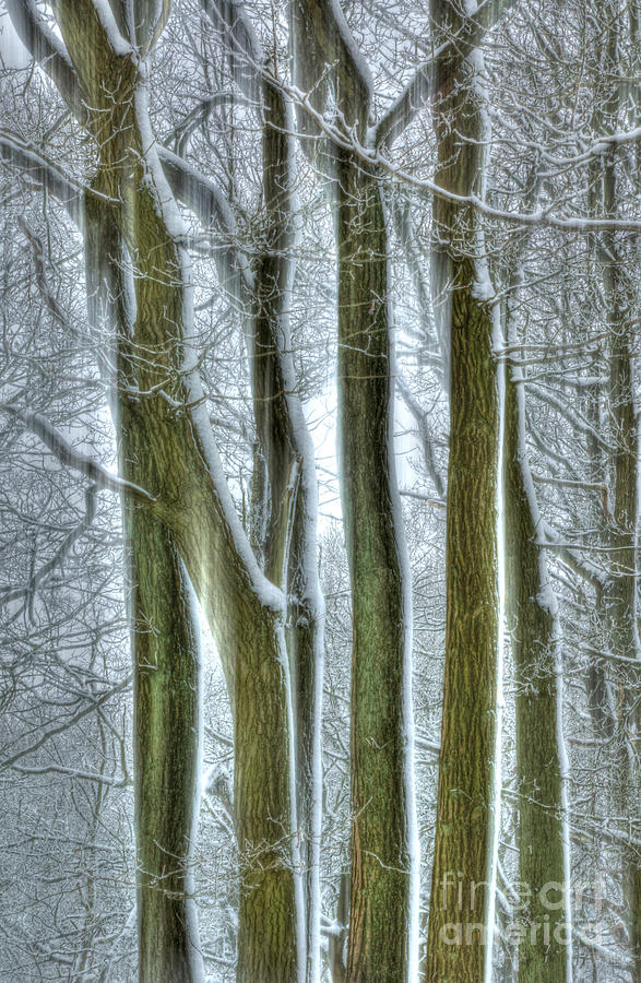 Forest Sentinels Photograph  - Forest Sentinels Fine Art Print