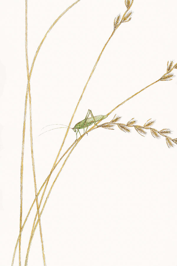 Fork-tailed Bush Katydid Drawing  - Fork-tailed Bush Katydid Fine Art Print