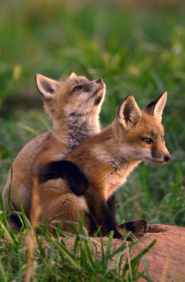 Fox Cub Buddies Photograph  - Fox Cub Buddies Fine Art Print