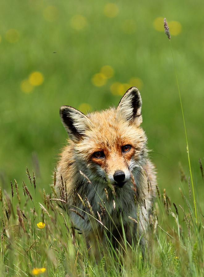 Fox Photograph - fox by Dragomir Felix-bogdan