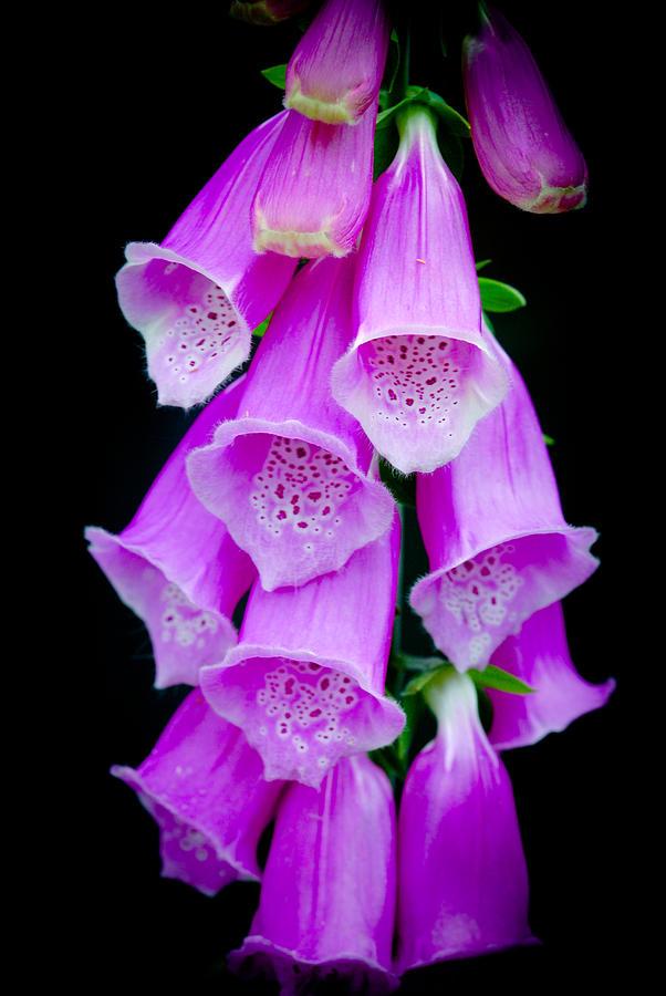 Fox Glove Flower Photograph