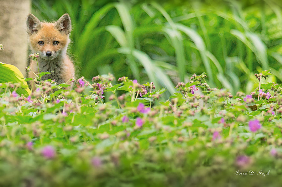 Fox In The Garden Photograph