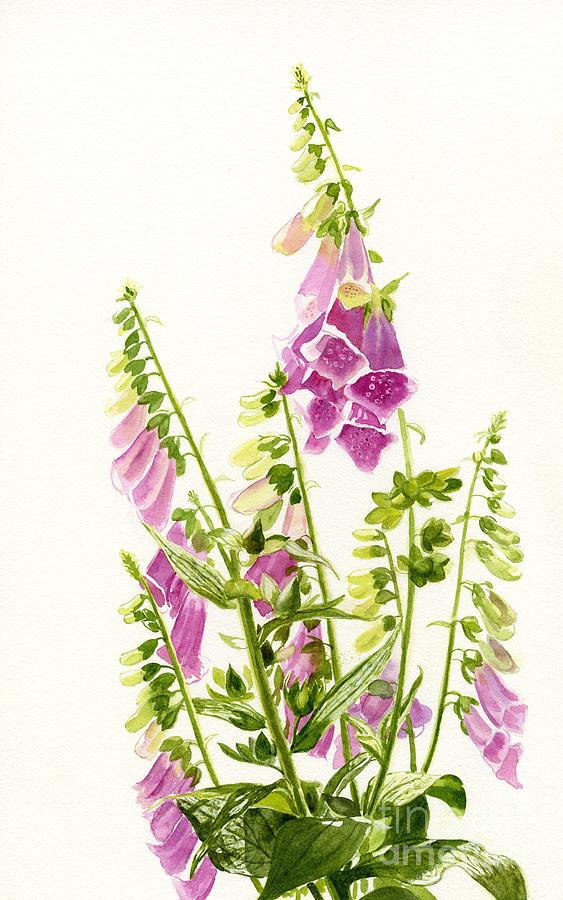 Foxgloves With White Background Painting  - Foxgloves With White Background Fine Art Print