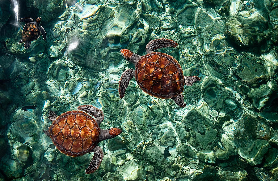 Fragile Underwater World. Sea Turtles In A Crystal Water. Maldives Photograph  - Fragile Underwater World. Sea Turtles In A Crystal Water. Maldives Fine Art Print
