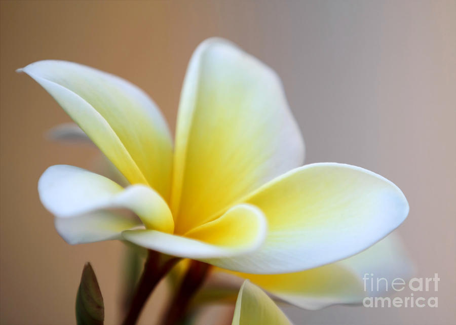 Art Photograph - Fragrant Frangipani Flower by Sabrina L Ryan